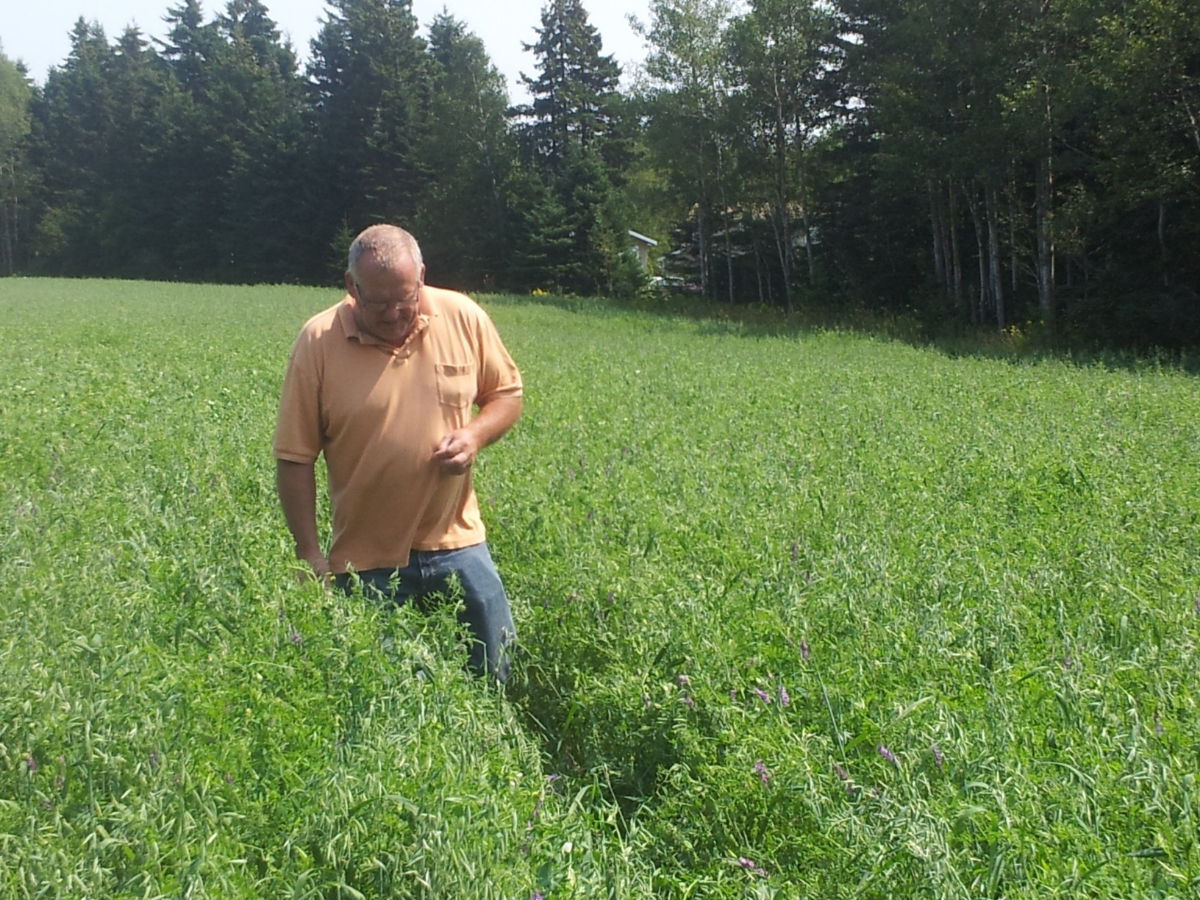 Eddy in a field of Oats, Peas, and Vetch.  This mix of crops adds nitrogen to the soil
