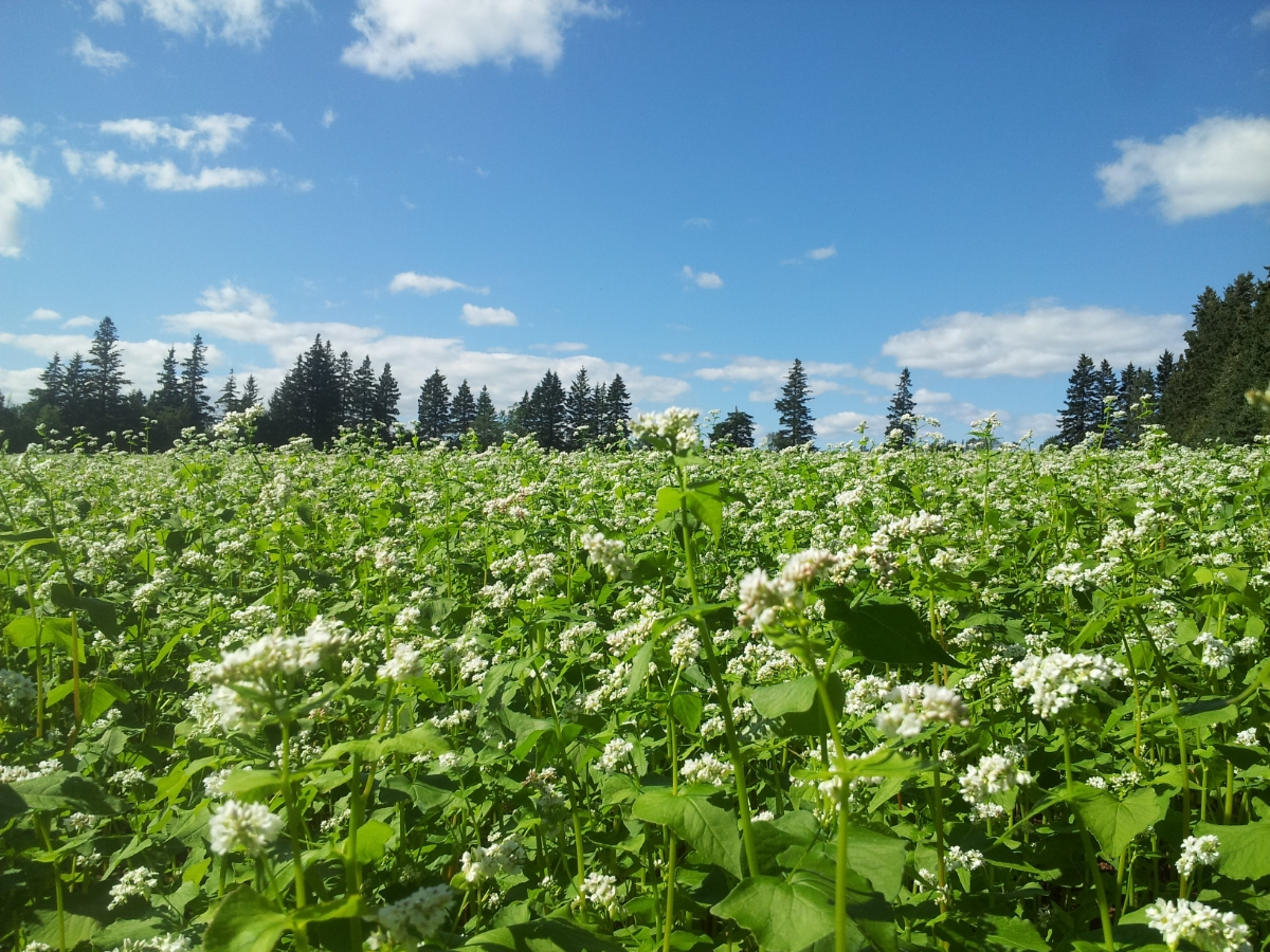Buckwheat, a great crop to smother weeds!